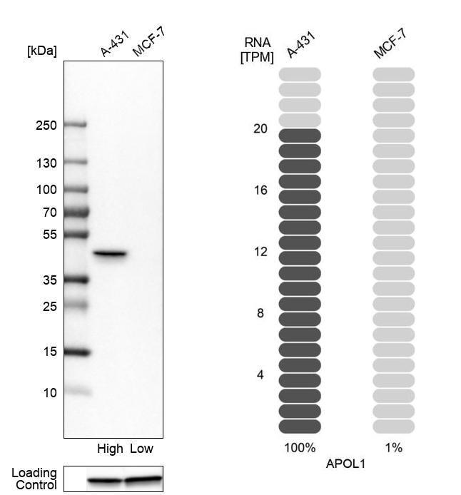 Apolipoprotein L1 Antibody in Western Blot (WB)