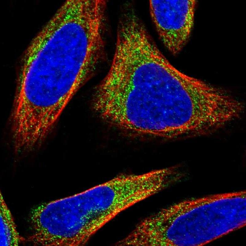 NADE Antibody in Immunofluorescence (IF)