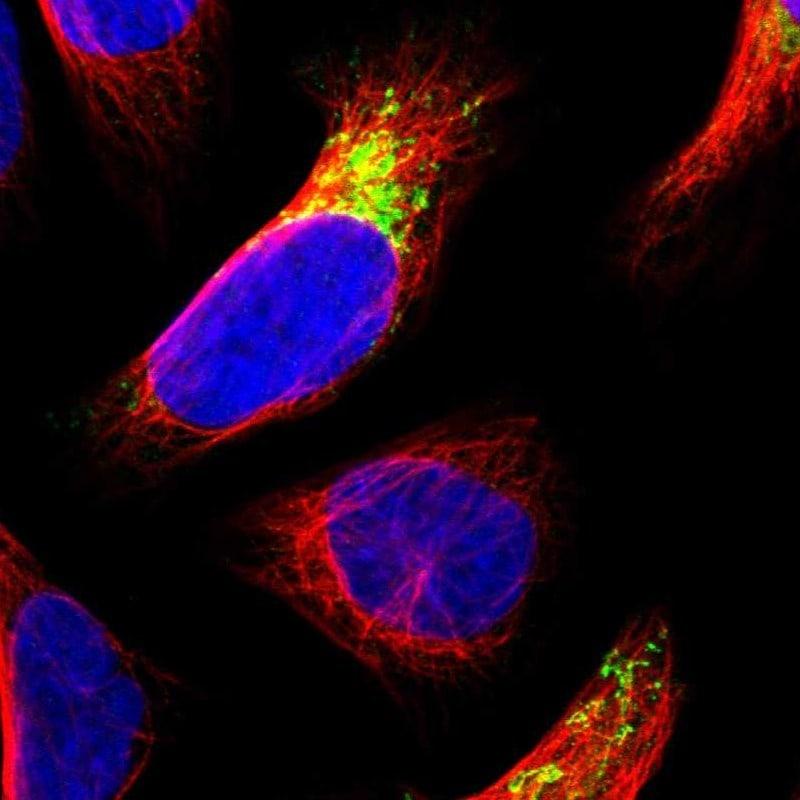 MDH2 Antibody in Immunocytochemistry (ICC/IF)