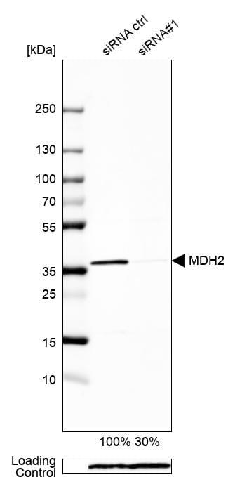 MDH2 Antibody