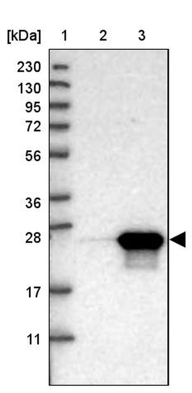 BAG2 Antibody in Western Blot (WB)