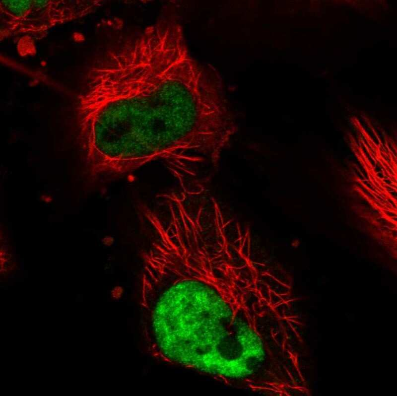 DDX5 Antibody in Immunofluorescence (IF)