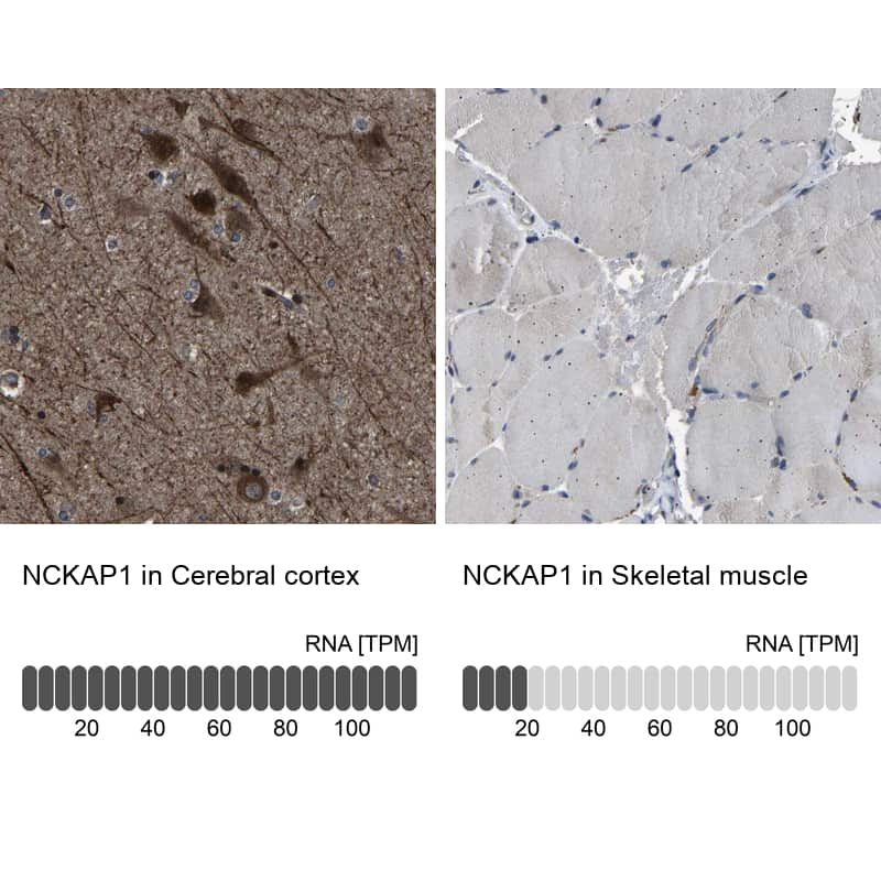 NCKAP1 Antibody in Relative expression