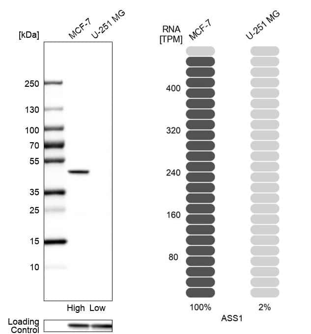 ASS1 Antibody in Relative expression
