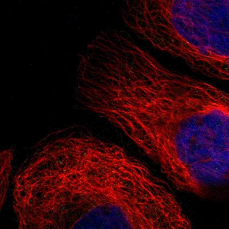 OXSM Antibody in Immunofluorescence (IF)