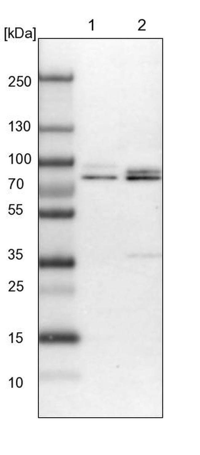 Torc1 Antibody in Western Blot (WB)