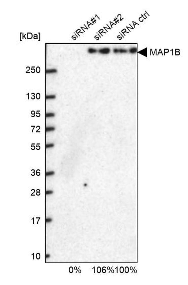 MAP1B Antibody in Western Blot (WB)