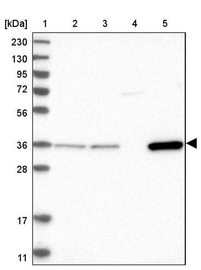 CRYZ Antibody in Western Blot (WB)