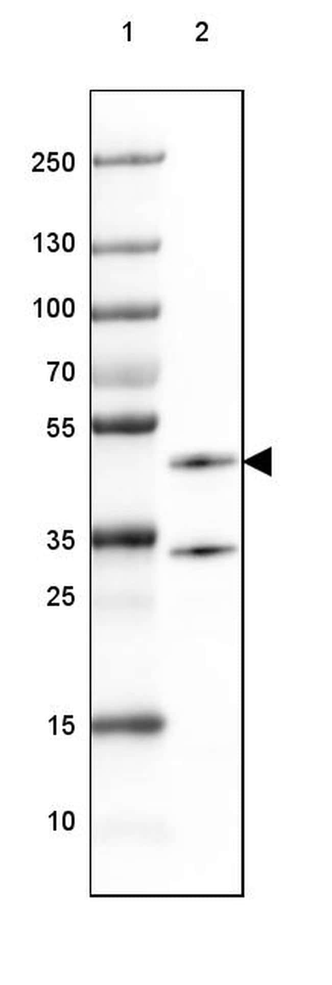CNPase Antibody in Western Blot (WB)