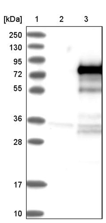 ZBTB2 Antibody in Western Blot (WB)