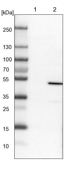 ERO1L Antibody in Western Blot (WB)