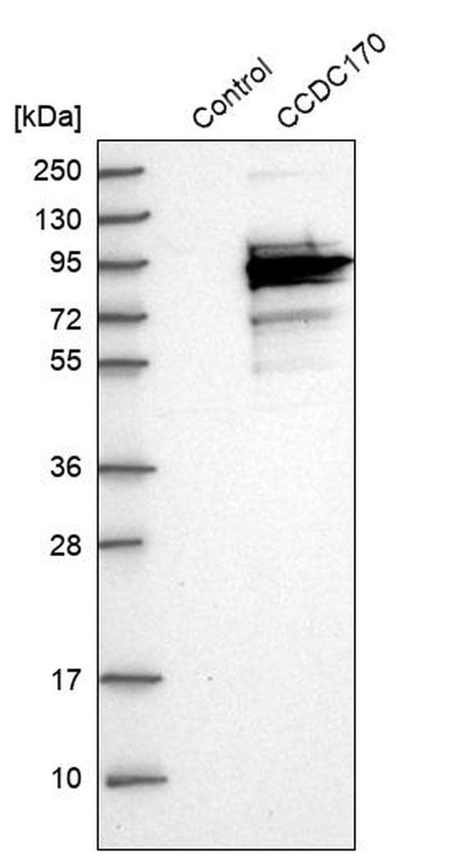 C6orf97 Antibody in Western Blot (WB)