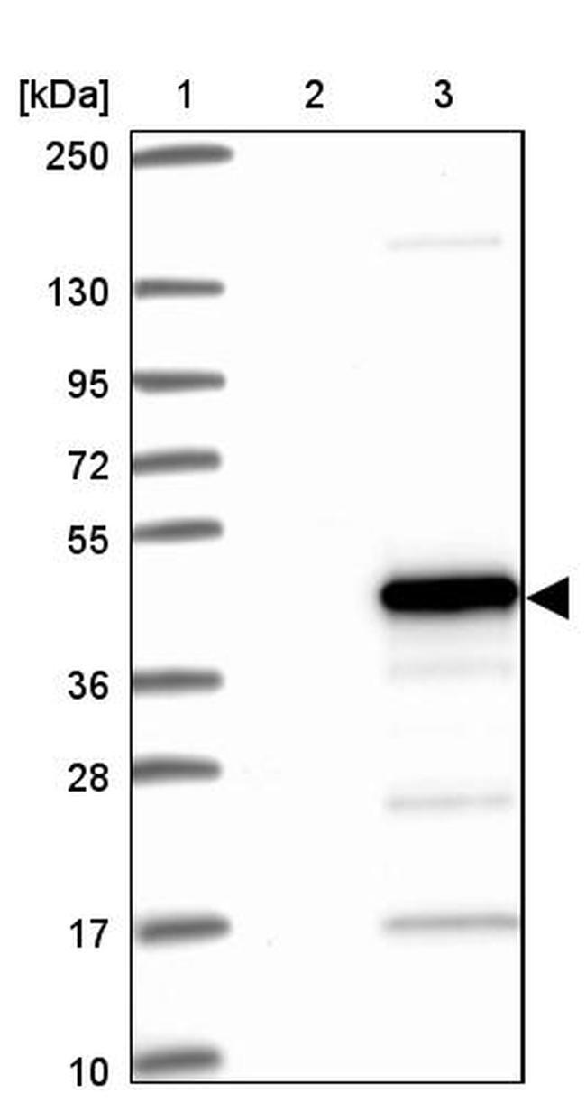 HTRA2 Antibody in Western Blot (WB)