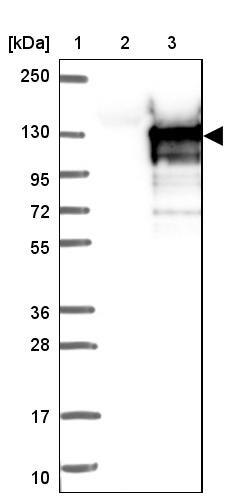 OXR1 Antibody in Western Blot (WB)