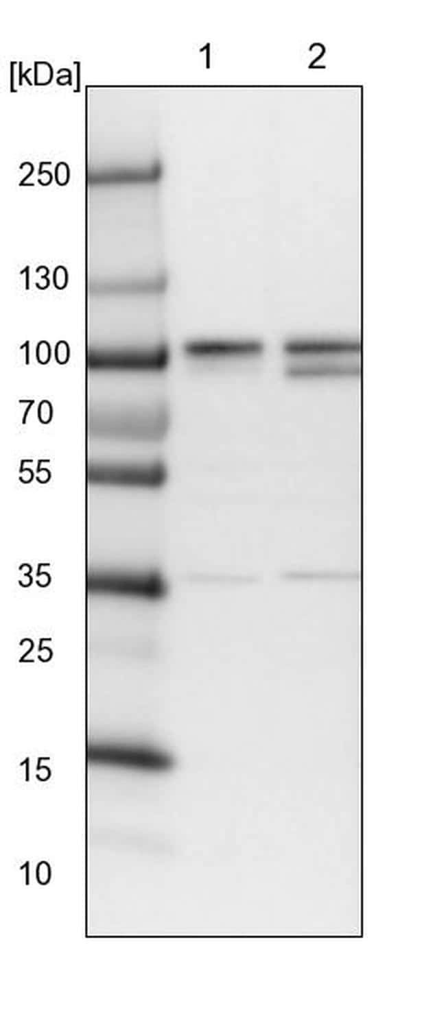 ORP9 Antibody in Western Blot (WB)