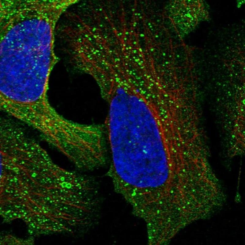 CSK Antibody in Immunofluorescence (IF)