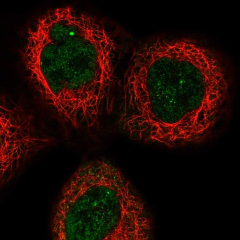 Apolipoprotein L6 Antibody in Immunofluorescence (IF)