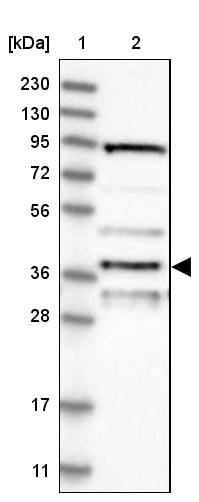 Apolipoprotein L6 Antibody in Western Blot (WB)