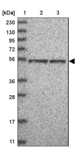 TFCP2L1 Antibody in Western Blot (WB)