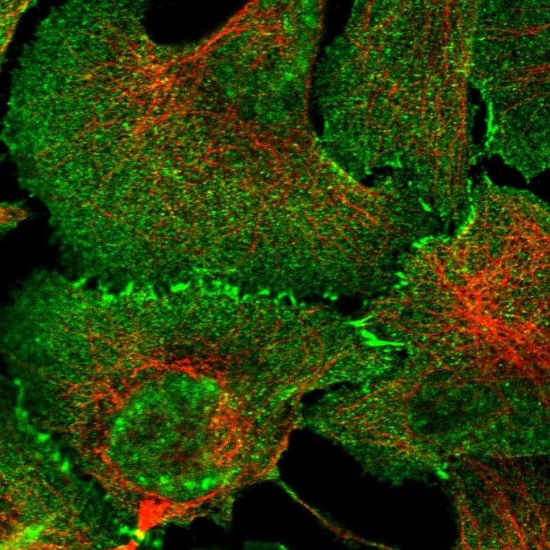 Afadin Antibody in Immunofluorescence (IF)