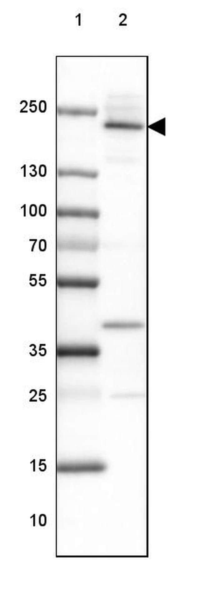 Afadin Antibody in Western Blot (WB)