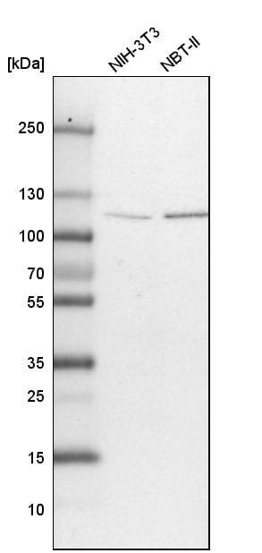 OGT Antibody in Western Blot (WB)