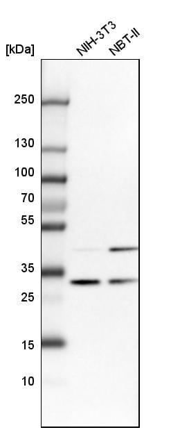 CAPZB Antibody in Western Blot (WB)