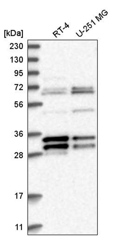 MORF4L2 Antibody in Western Blot (WB)