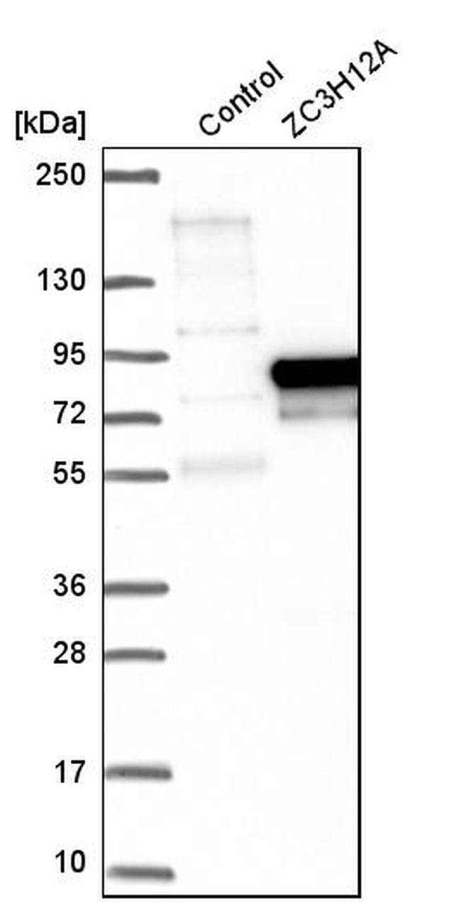 ZC3H12A Antibody in Western Blot (WB)