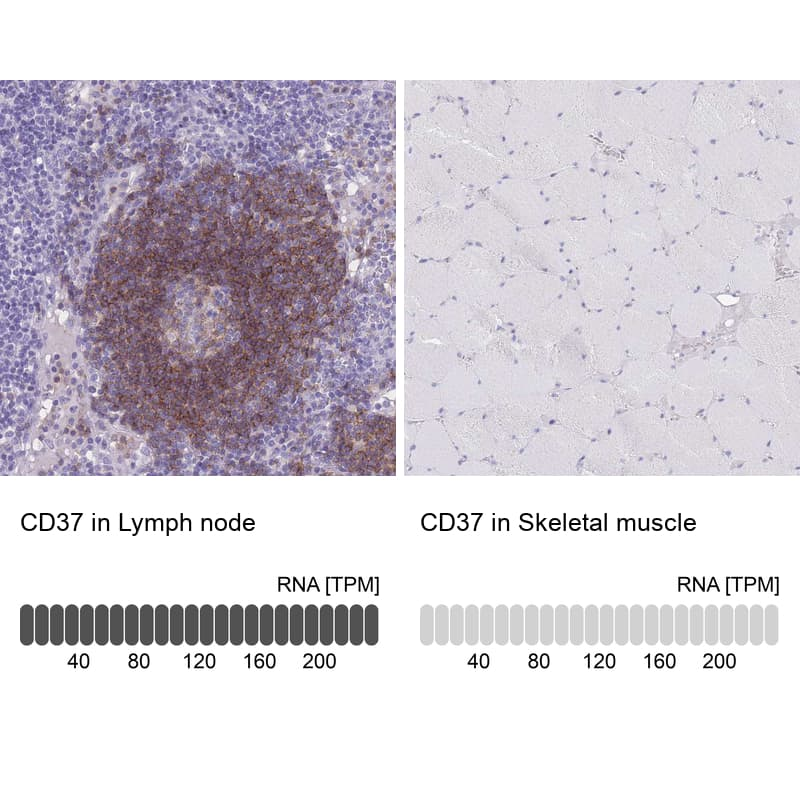CD37 Antibody in Relative expression