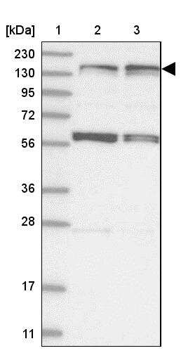 KIF4A Antibody in Western Blot (WB)