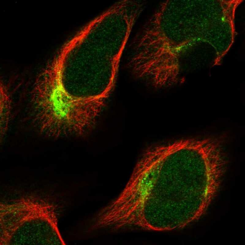 PKN2 Antibody in Immunofluorescence (IF)