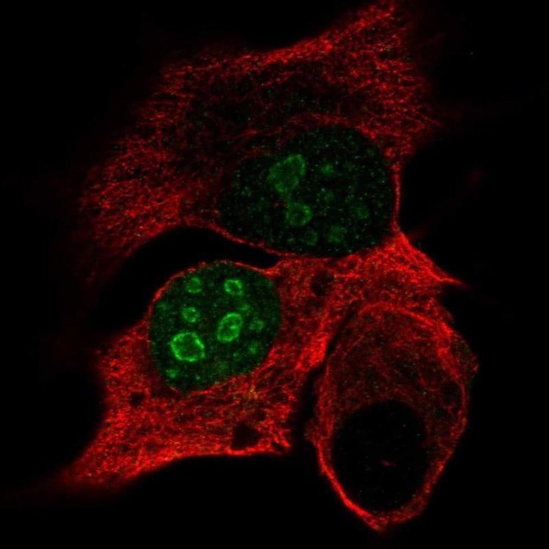 DPPA4 Antibody in Immunofluorescence (IF)