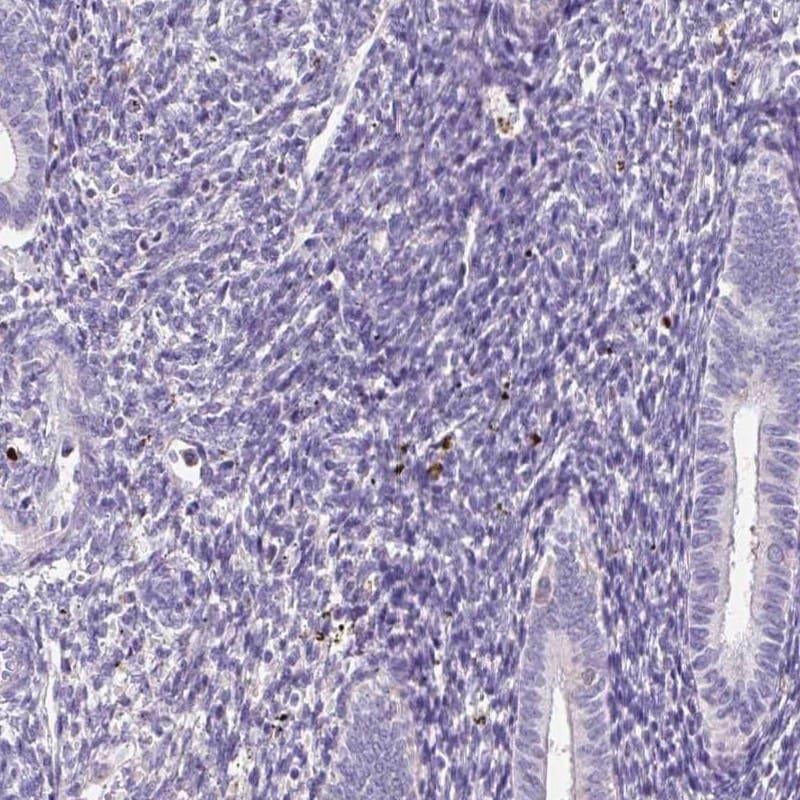 DPPA4 Antibody in Immunohistochemistry (IHC)