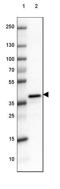 DPPA4 Antibody in Western Blot (WB)