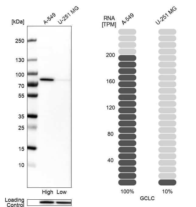 GCLC Antibody in Relative expression