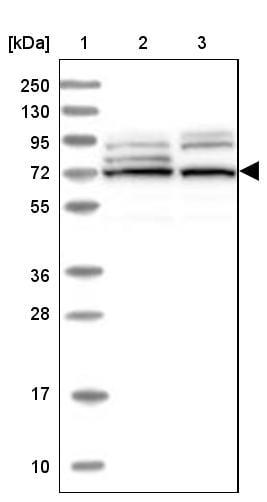EHHADH Antibody in Western Blot (WB)