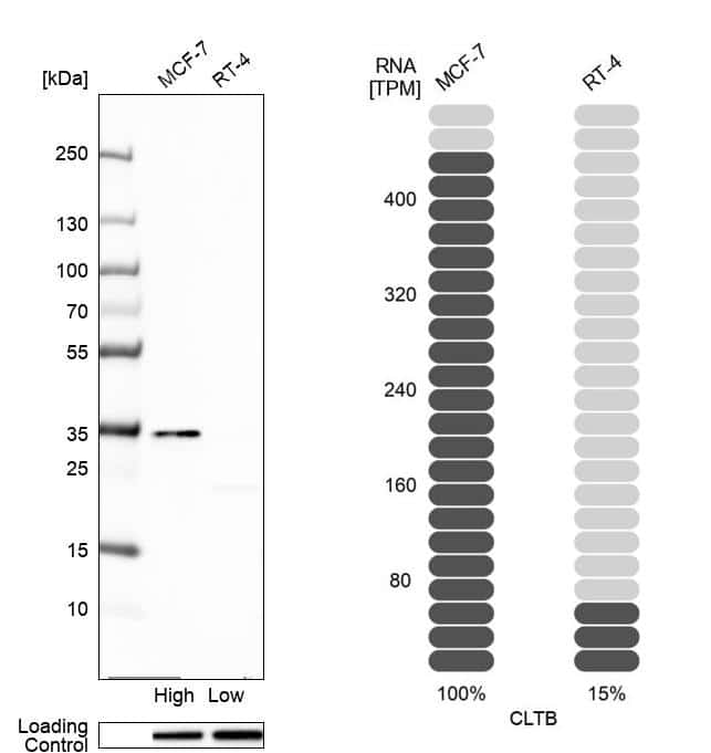 Clathrin Light Chain Antibody in Relative expression