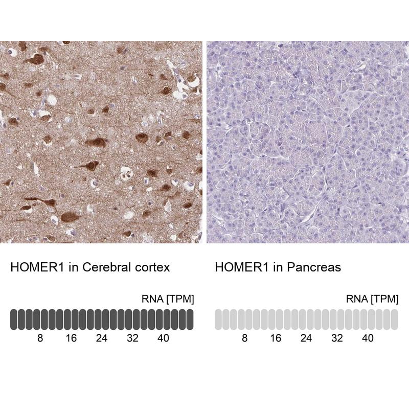 HOMER1 Antibody in Relative expression