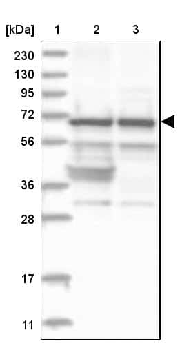 Nucleostemin Antibody in Western Blot (WB)