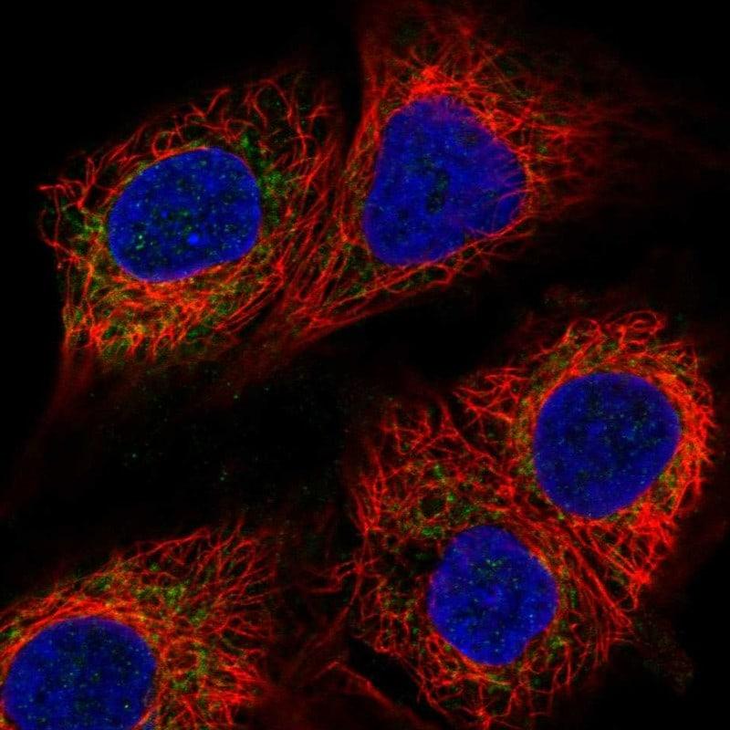 MICU1 Antibody in Immunofluorescence (IF)
