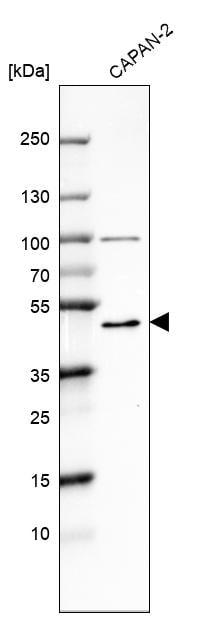 MICU1 Antibody in Western Blot (WB)
