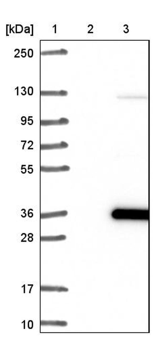 IMPA1 Antibody in Western Blot (WB)
