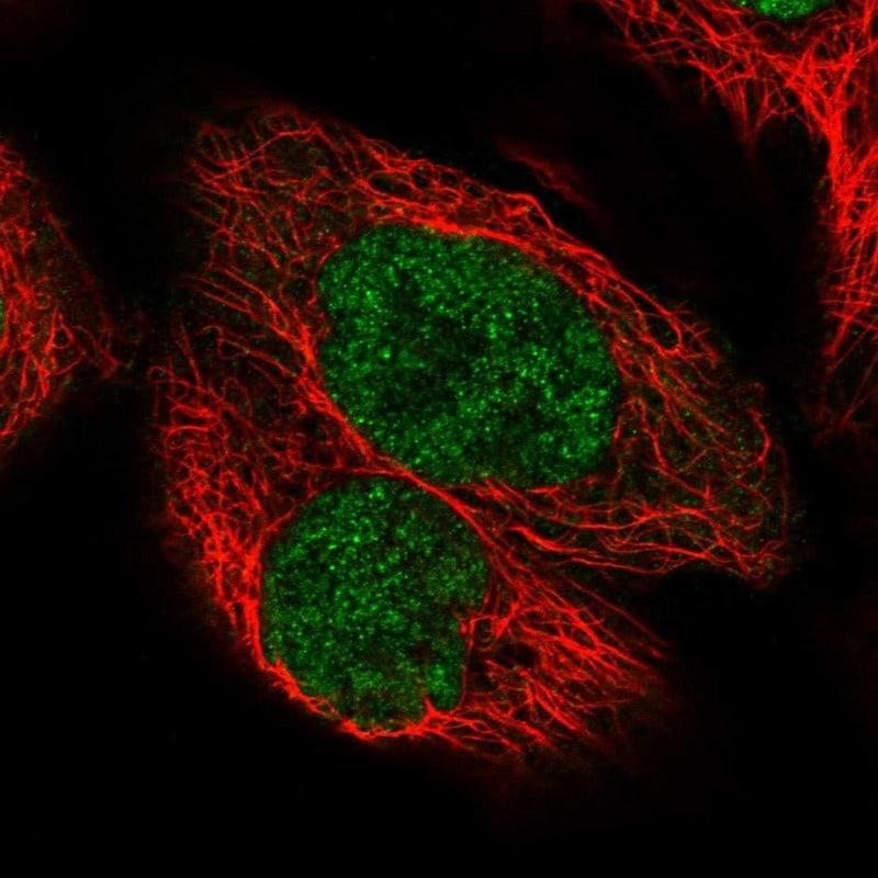 PIK3C2A Antibody in Immunofluorescence (IF)