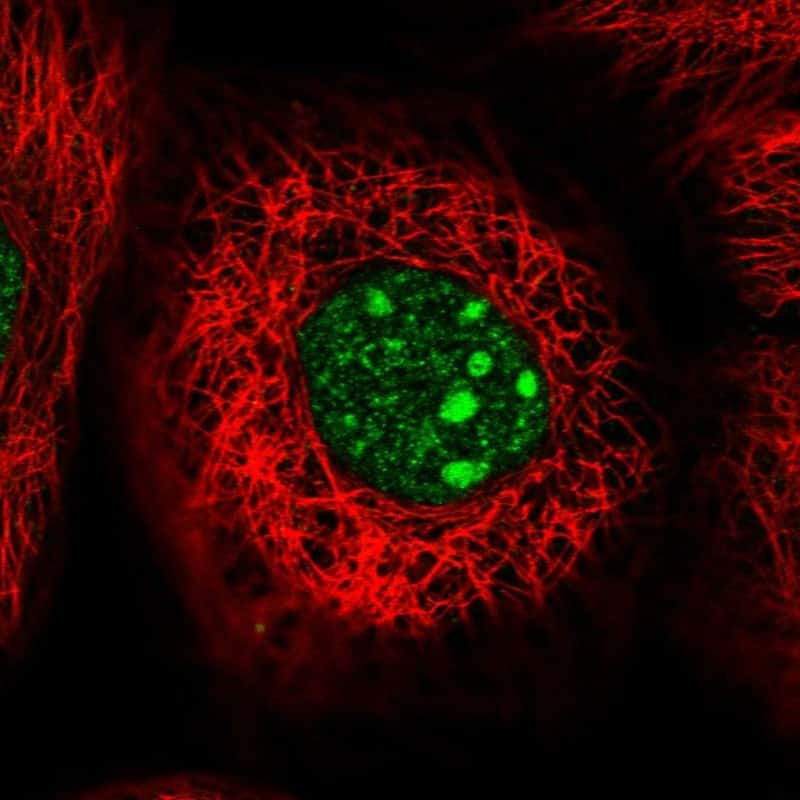 WDR74 Antibody in Immunocytochemistry (ICC/IF)