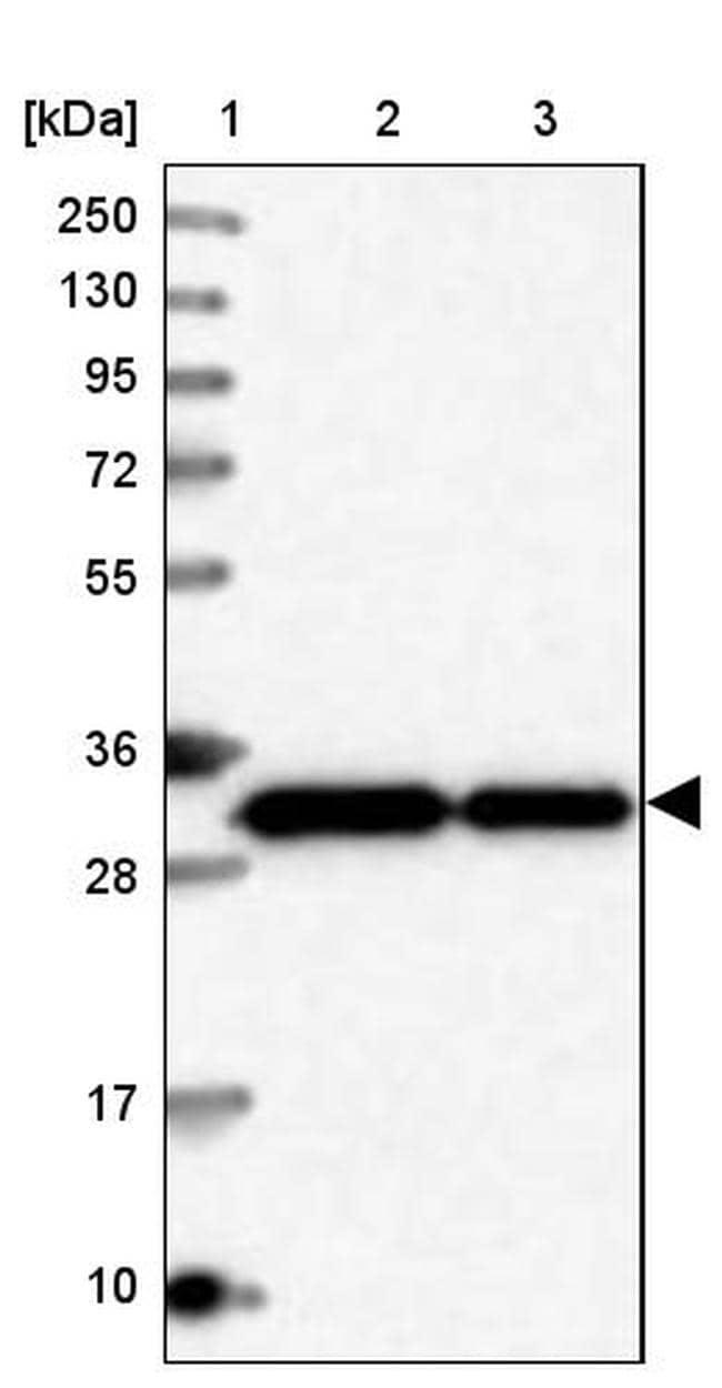 Syntaxin 6 Antibody in Western Blot (WB)