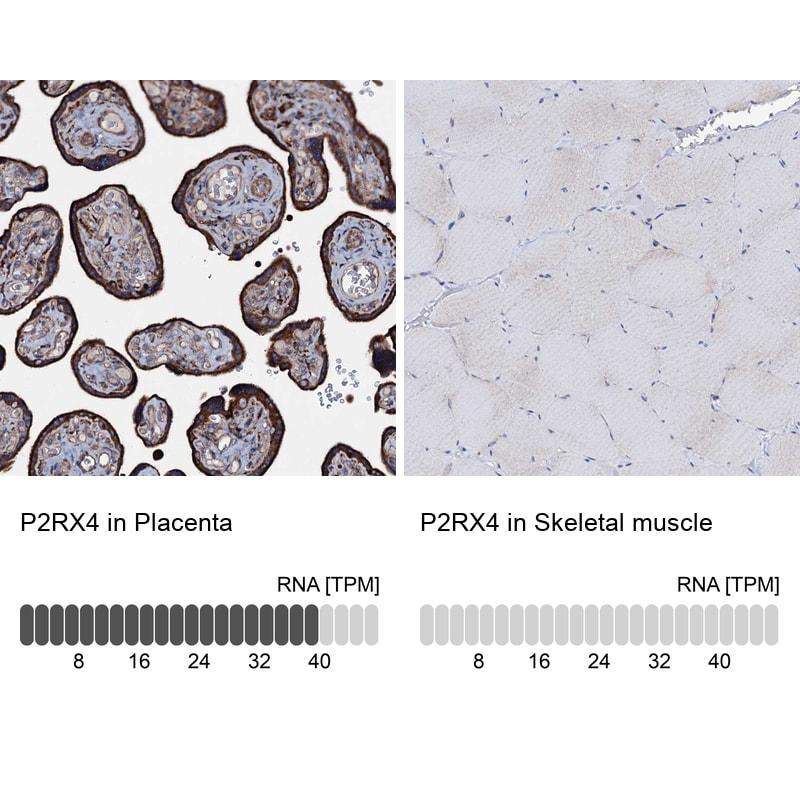 P2X4 Antibody in Immunohistochemistry (IHC)