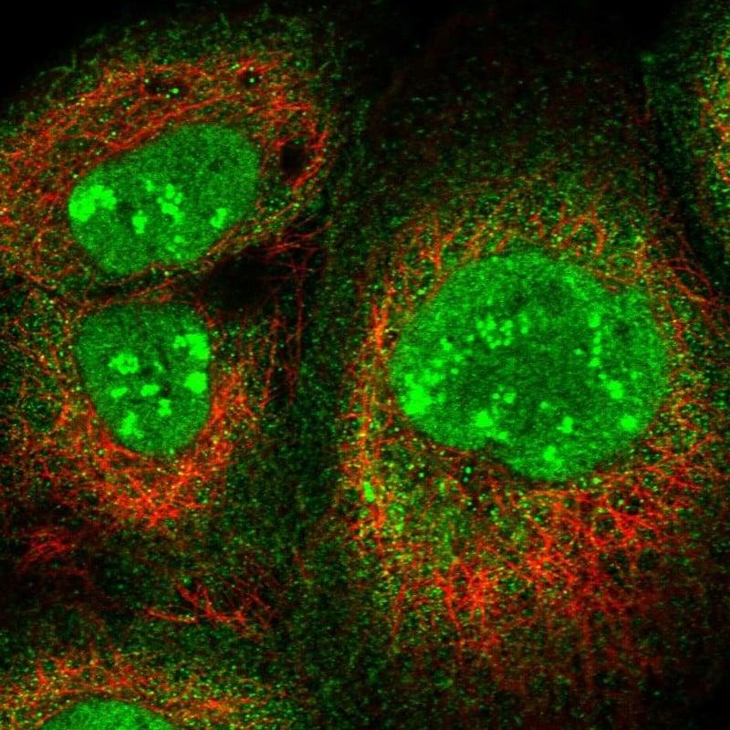 PAF49 Antibody in Immunofluorescence (IF)