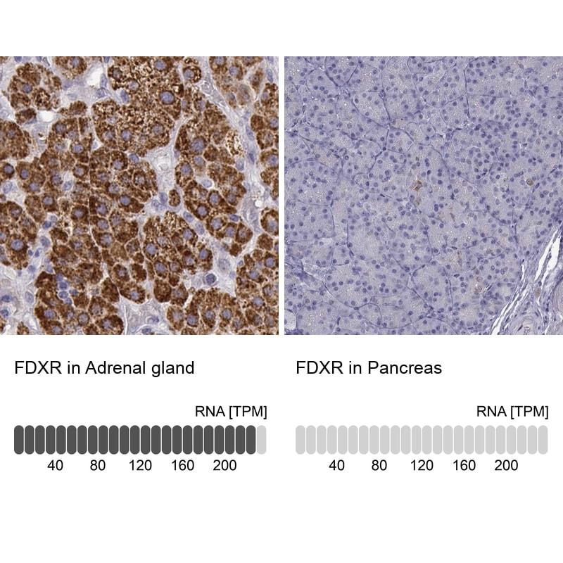 FDXR Antibody in Relative expression