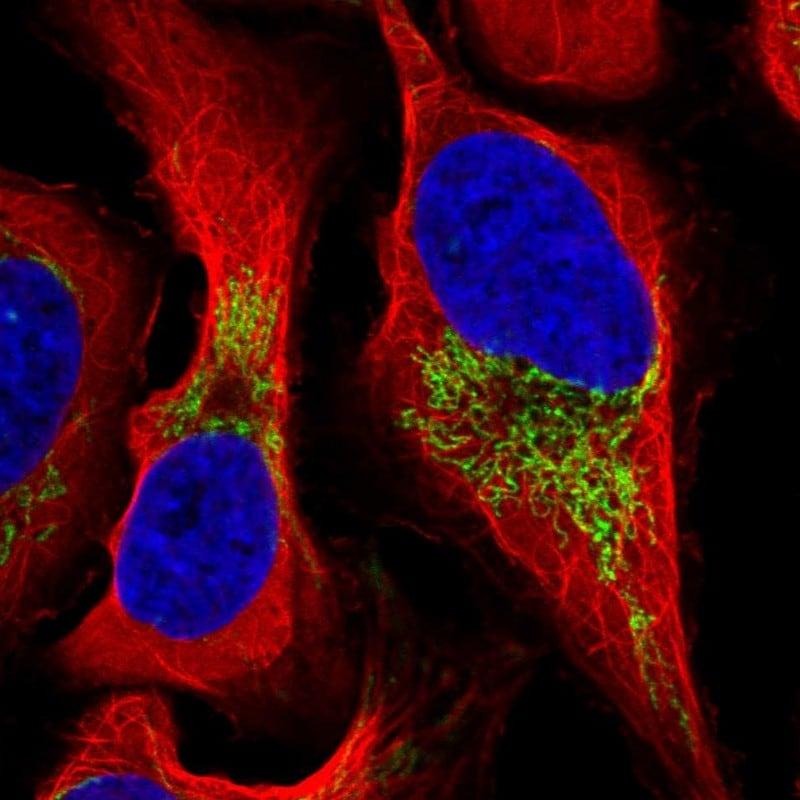 FDXR Antibody in Immunofluorescence (IF)